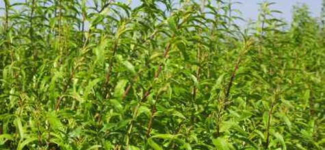 הלימון נגד הסרטן – צמחי תבלין בארומת לימון מנצחים חיידקים