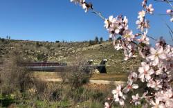השקדיות פורחות בצד המסילה לירושלים