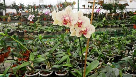 maale orchids