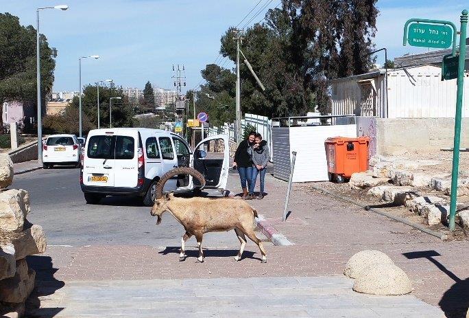 עדרי יעלים שועטים חופשי בסמוך למלון. אגב, אסור להאכיל באיסור חמור.