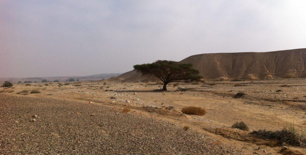 שיטה במדבר, ליד הישוב צוקים