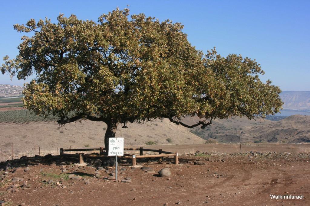 העץ על סמלה של חטיבת גולני